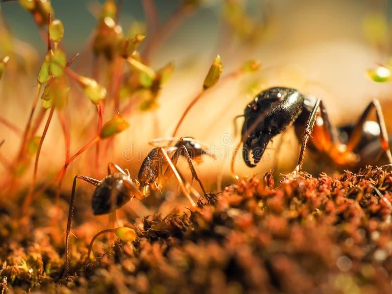 De rode en zwarte Mier vocht op de bladeren, Mier stock afbeeldingen