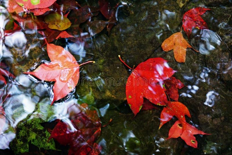 De rode Esdoorn doorbladert daling van het water royalty-vrije stock foto