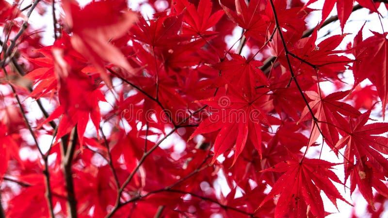 De rode esdoorn doorbladert slechts de herfst stock afbeelding