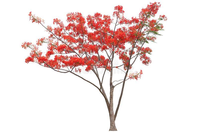 De rode flamboyant koninklijke die boom van de poincianabloem op witte achtergrond voor het ontwerpwerk wordt geïsoleerd royalty-vrije stock afbeelding