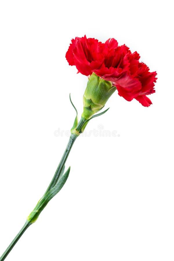 De rode geïsoleerde close-up van de anjerbloem royalty-vrije stock afbeelding