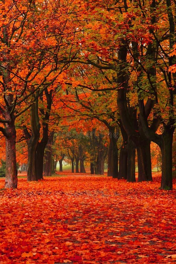 De rode herfst in het park stock foto
