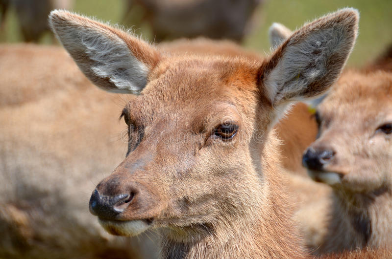 De rode herten van Nieuw Zeeland royalty-vrije stock afbeelding