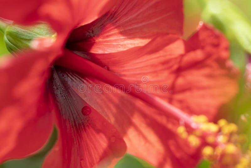De rode hibiscus bloeit dicht omhoog beeld Mooie tropische bloei royalty-vrije stock afbeeldingen