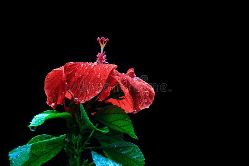 De rode hibiscus bloeit natte rode regenbloem op zwarte Galant als achtergrond stock afbeeldingen