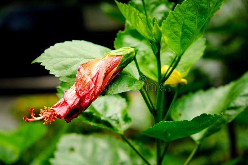 De rode Hibiscus of Rode Chaba bloeit nog in knopvorm die wachten tot bloei te komen stock foto