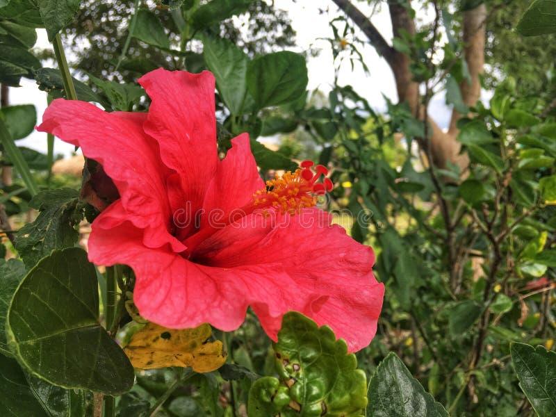 De rode hibiscusbloem is bloeiend op struik in de tuin royalty-vrije stock afbeelding