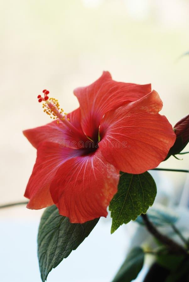 De rode Hibiscusbloem of Chinees nam, Hawaiiaanse hibiscus die toe, nam China toe, bloem met bladeren op witte achtergrond worden royalty-vrije stock afbeeldingen