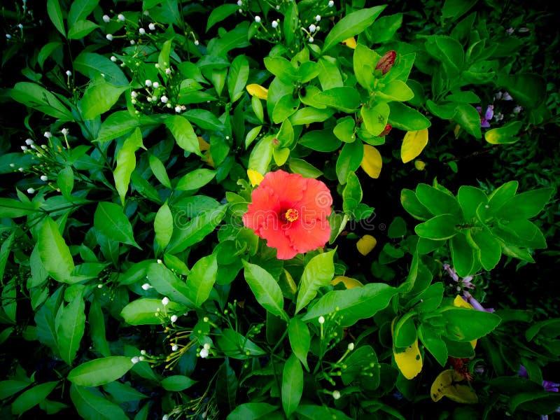 De rode Hibiscusbloem die onder een andere bloeien bloeit stock fotografie