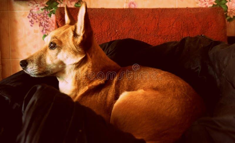 De rode hond rust royalty-vrije stock foto