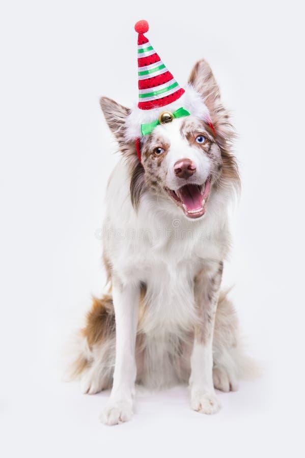 De rode hond van merleborder collie, portret op lichtgrijze achtergrond stock afbeeldingen