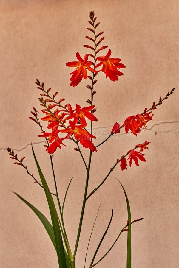 De rode Hoofdbloem van Lobelia stock afbeelding