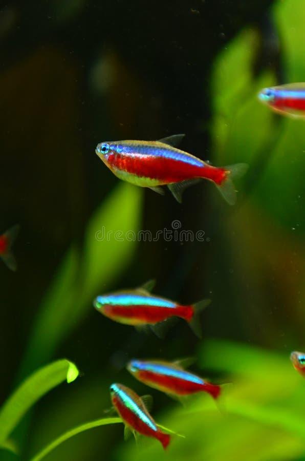De rode hoofdondiepte van neonvissen stock fotografie