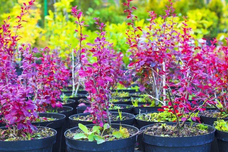 De rode installaties van struikenberberis Thunbergii in potten op tuincentrum royalty-vrije stock foto's