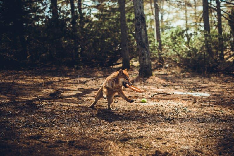 De rode jonge spelen van hondshiba-inu in aard stock foto
