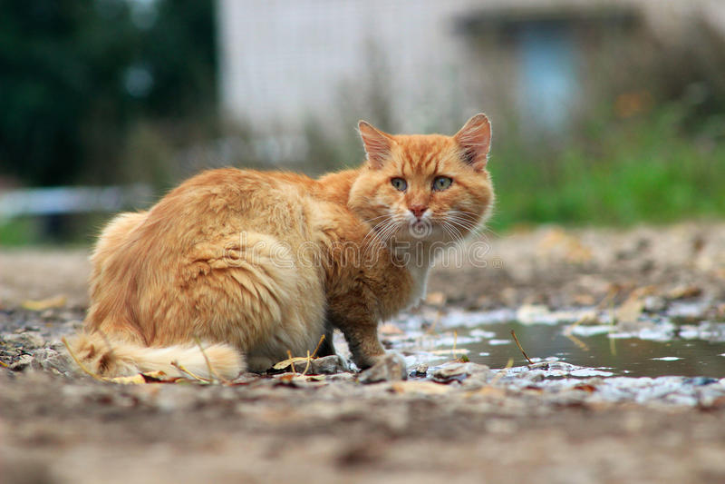 De rode kat drinkt water stock afbeeldingen