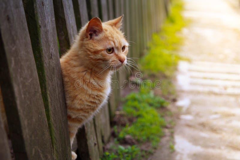 De rode kat kijkt uit van achter een omheining de Fotohuisdier van de de zomerzon Mooi met Gele Ogen royalty-vrije stock fotografie