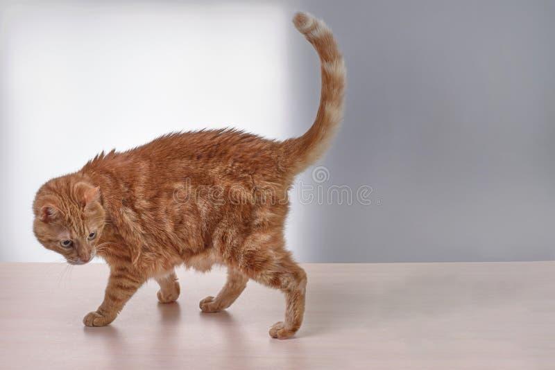 De rode kat met opgeheven staart kijkt terug en uit de schaduwen royalty-vrije stock afbeeldingen