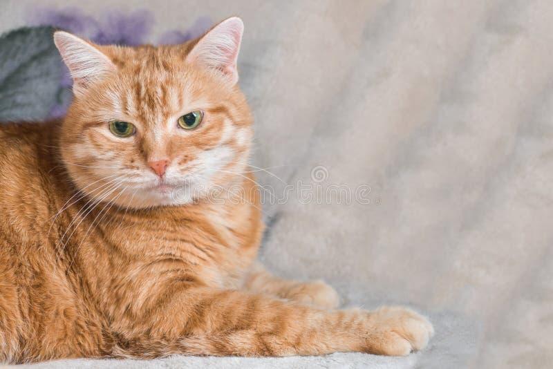 De rode kat rust op een deken stock foto's
