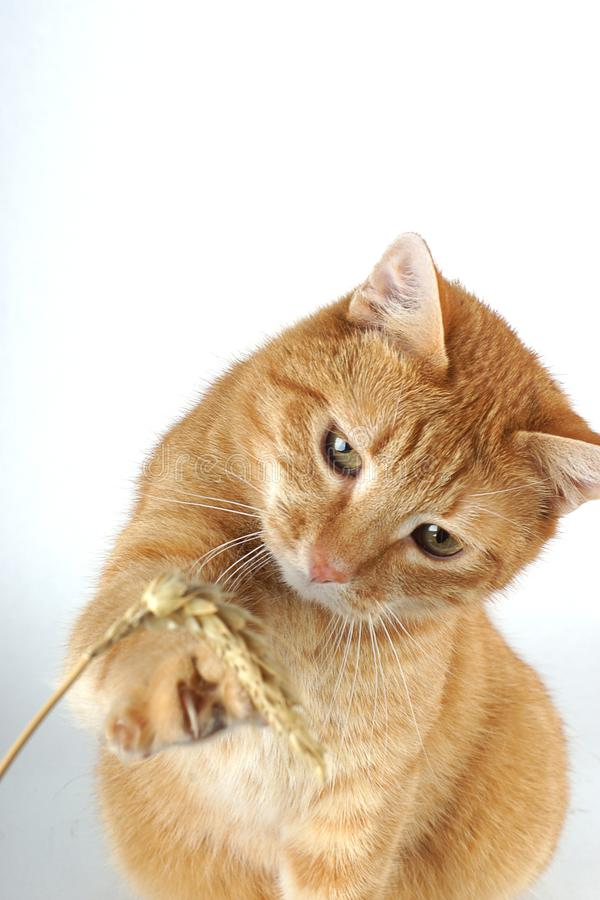 De rode kat wordt gespeeld met een stengel van tarwe op een witte achtergrond stock fotografie