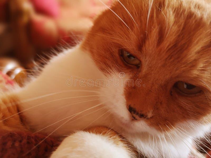 De rode kat ziet eruit stock foto's