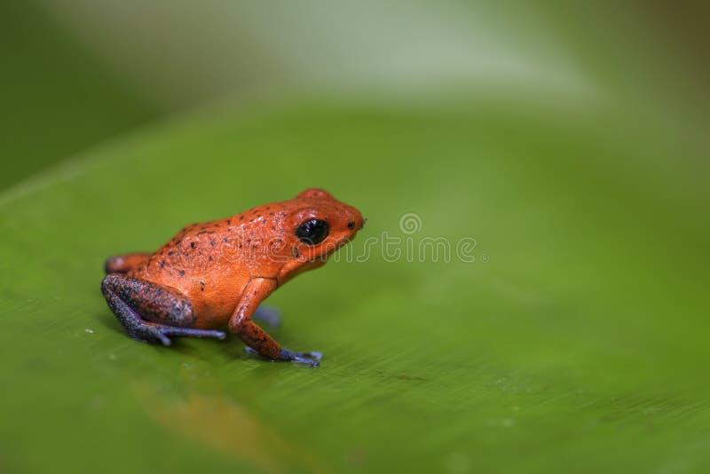 De rode Kikker van het Vergiftpijltje - Oophaga-pumilio royalty-vrije stock afbeelding