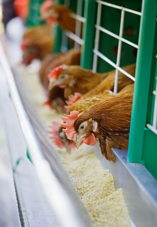 De rode kippen worden gevoed stock afbeelding
