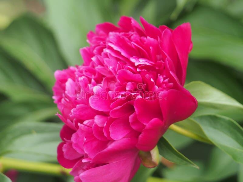 De rode knoppen van pioenen De bloemen van de tuin Bloementeelt royalty-vrije stock foto's