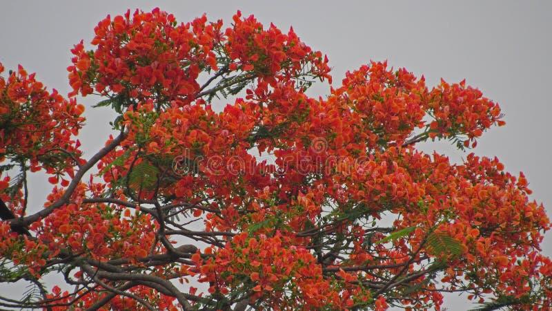 de rode koninklijke poincianabloem ontluikt achtergrond in de de zomerlente royalty-vrije stock afbeeldingen