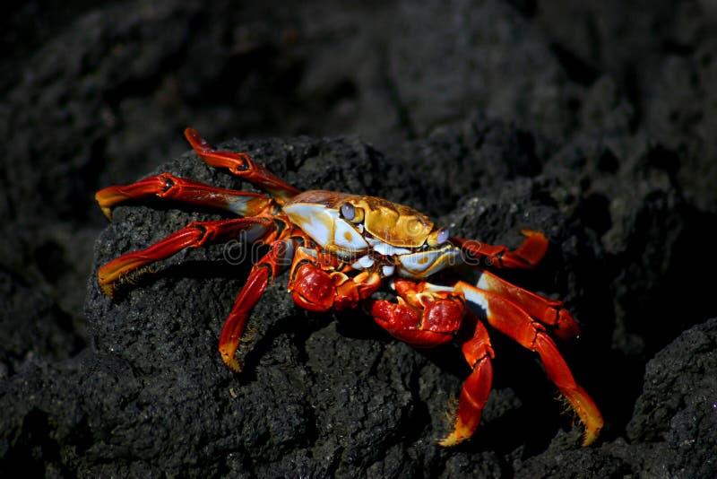 De Rode Krab van de Galapagos royalty-vrije stock fotografie