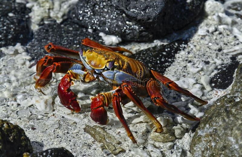 De rode Krab van de Rots, de Eilanden van de Galapagos, Ecuador stock afbeeldingen