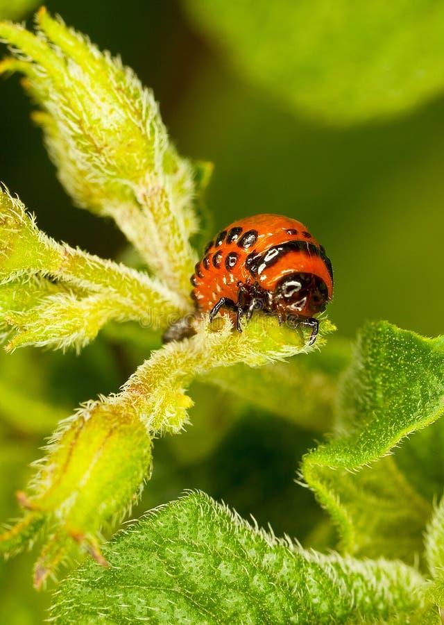 De rode larvenColoradokever eet bladeren. stock foto's