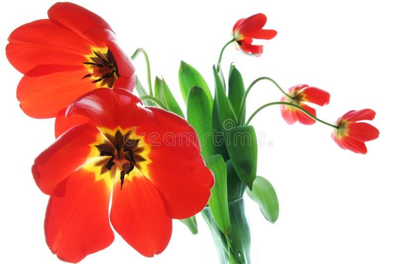 De rode lentetulpen in vaas stock afbeelding