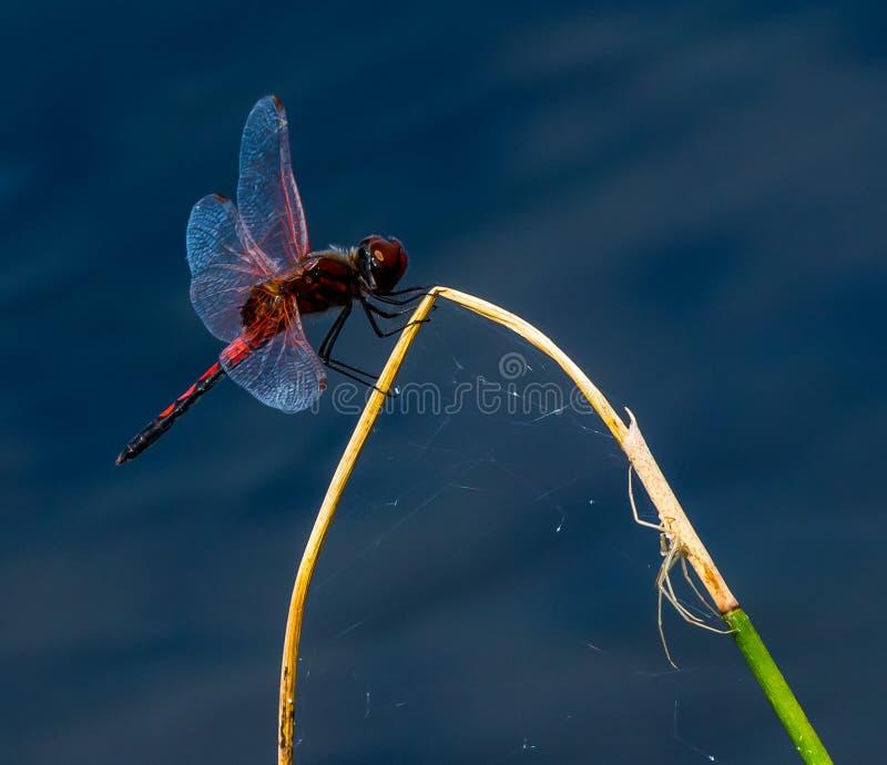 De Rode Libel en de Spin stock afbeeldingen