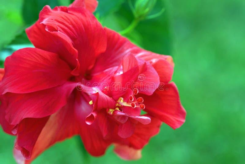 De rode Macro van de Hibiscusbloesem royalty-vrije stock fotografie