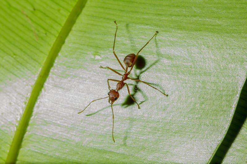De rode mieren zijn op de bladeren in aard royalty-vrije stock foto's