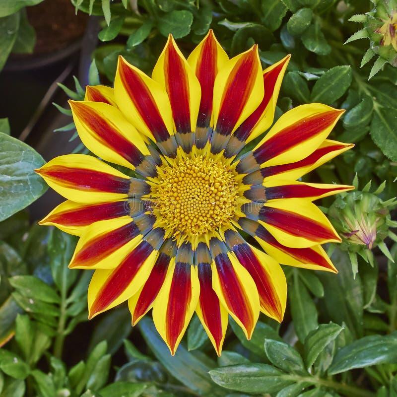 De rode oranje bloem van tijgergazania royalty-vrije stock afbeeldingen