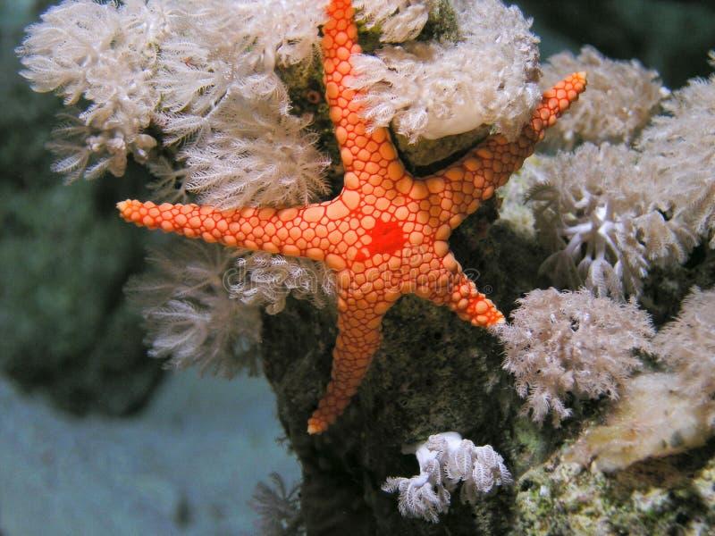 De rode Overzeese vissen van Seastar stock fotografie