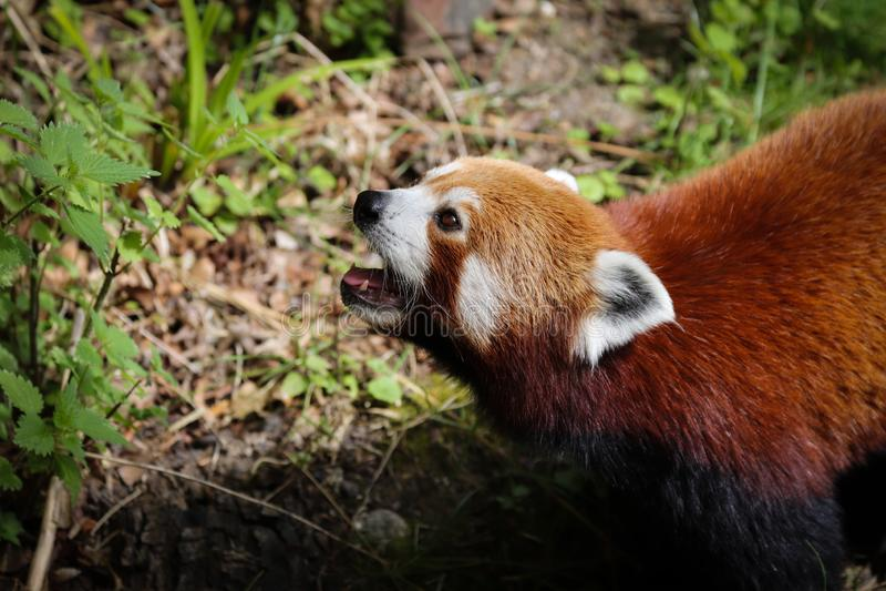 De rode panda Ailurus fulgens stock foto