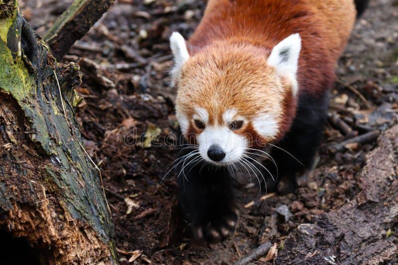 De rode panda Ailurus fulgens royalty-vrije stock fotografie