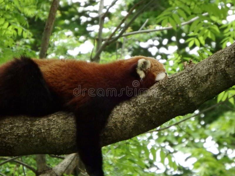 De rode panda draagt royalty-vrije stock foto's