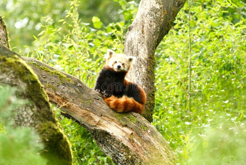 De rode panda draagt bij dierentuin van Zürich stock foto