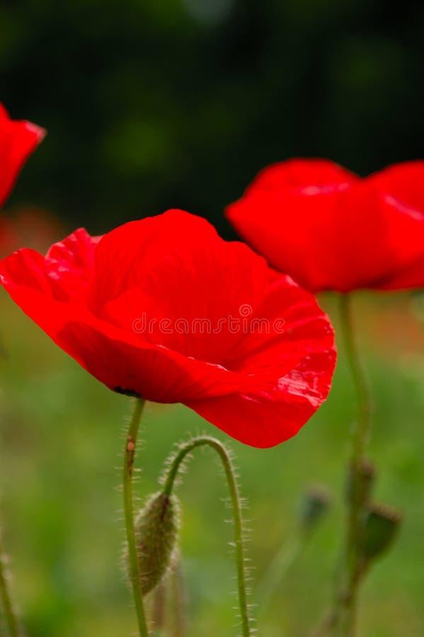 De rode papaver bloeit macroschot stock foto's