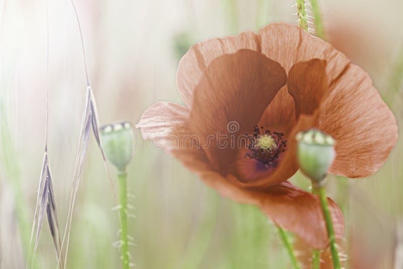 De rode papavers van de bloemweide stock foto