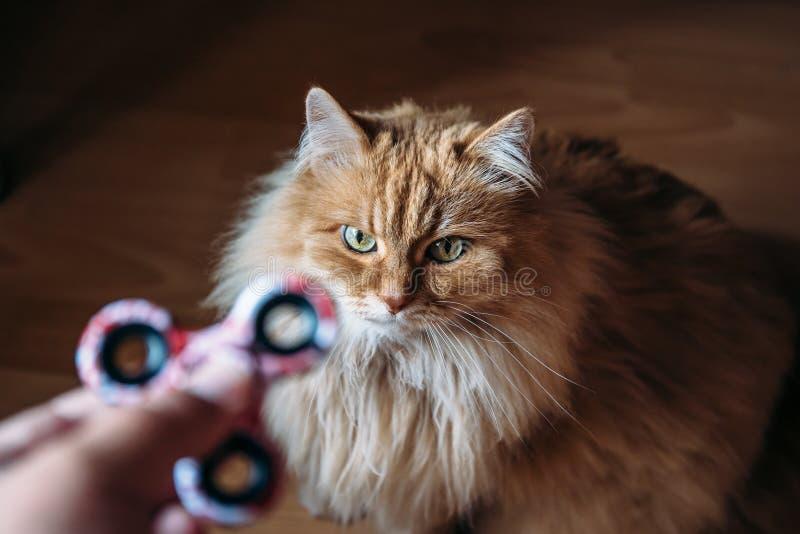 De rode pluizige kat bekijkt Fidget Spinner in menselijke hand royalty-vrije stock foto