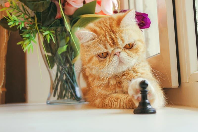 De rode pot van exotisch ras raakt een poot een schaakpand stock afbeeldingen