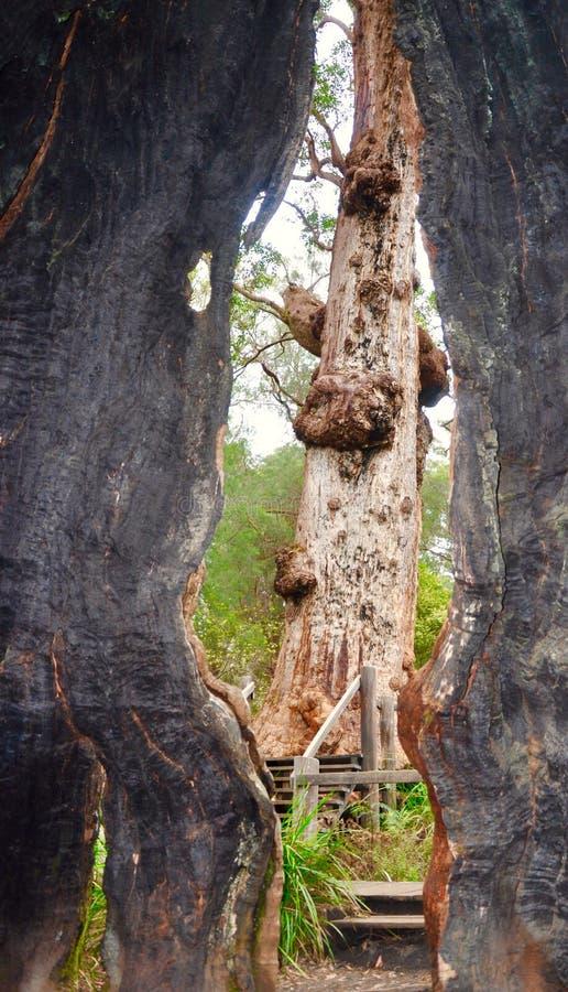 De rode Reuzeholte van de Tintelingsboom met Peekaboo-Mening: Vallei van de Reuzen, Westelijk Australië royalty-vrije stock fotografie