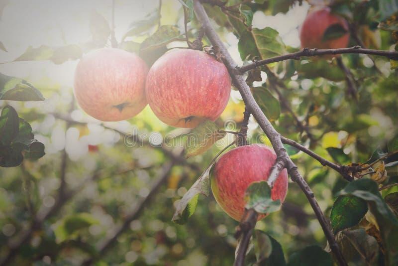 De rode rijpe close-up van de appelentak op een boom in tuin royalty-vrije stock afbeeldingen