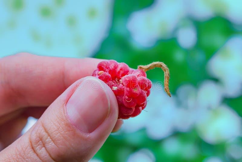De rode rijpe framboos met een worm houdt de vingers van de vrouw, stock afbeeldingen