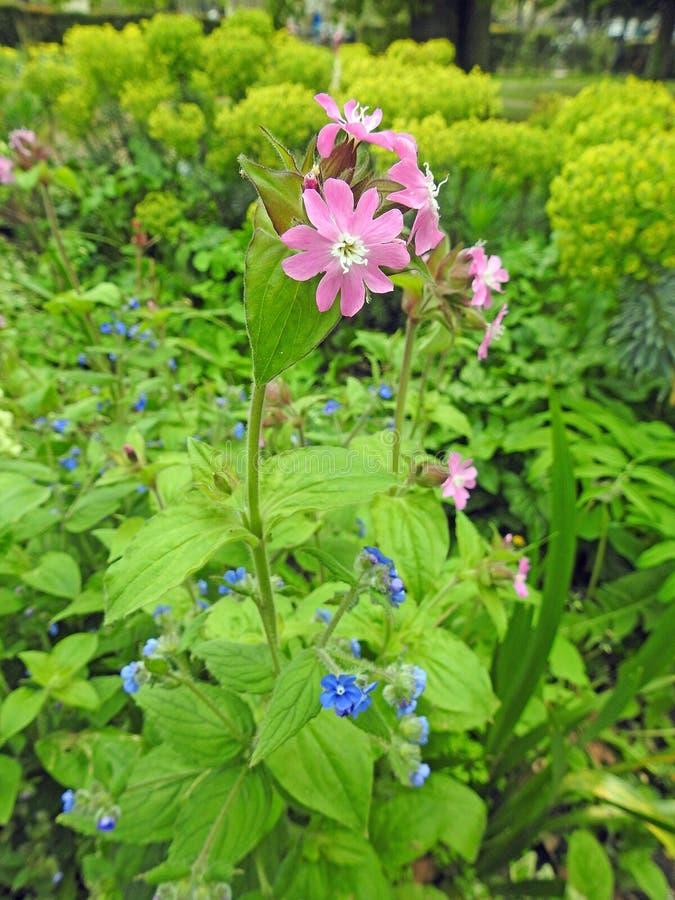 De rode roze vrij kleine sierlijke rotsrozen namen mauve lilac wilde de weidebloemen van bloeminstallaties toe royalty-vrije stock afbeeldingen